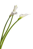 Three calla lilies Stock Images