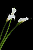 Three calla lilies Stock Photo