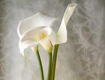 Three calla lilies Stock Image
