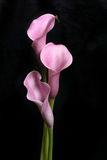 Three Calla Lilies on Black