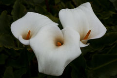 Three Calla Lilies royalty free stock images