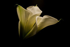 Three Calla Lillies Stock Photography