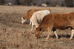 Three calves. Eating in a field royalty free stock photo