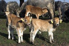 Three calves stock photography