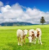 Three calves Royalty Free Stock Photography