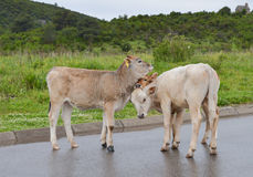 Three calves on the road. Three calves standing on the road in a compact group Stock Images