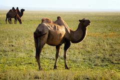 Three camel in mongolia Royalty Free Stock Photography