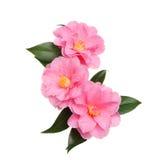 Three camellia flowers Stock Photo