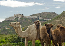 Three Camels. With Mojacar in Spain as a Backdrop Stock Photo