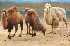 Three camels Stock Image