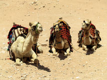 Three camels. Lying on the sand in Petra royalty free stock images