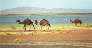 Three camels. Semi wild camels on the salt lake shore in Sahara desert, near Merzouga, Morocco Stock Photography