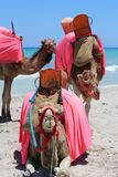 Three camels on the background of the sea stock image