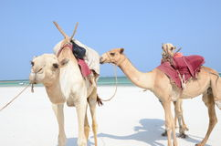 Three camels at the beach Royalty Free Stock Photo