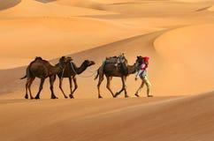 Three camels Stock Photo