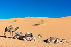 Three camels in desert. Three camels on sand dunes with blue sky Stock Photos