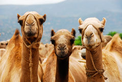 Three camels in Ethiopia. Three camels, wildlife in Ethiopia Royalty Free Stock Images