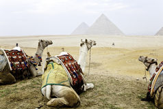 Three camels and the great pyramids Royalty Free Stock Photography