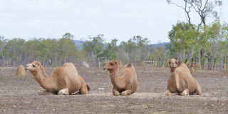 Three camels kneeling Royalty Free Stock Photo