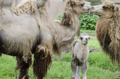 Three camels 3 Royalty Free Stock Photo