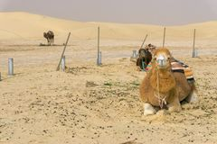 Three Camels in the Ong Jemel Desert in Tunisia stock images