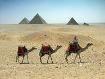Three camels and pyramids Stock Photo