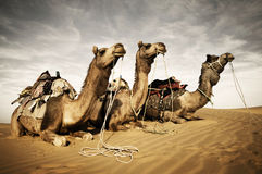 Three Camels Reating in the Desert stock photo