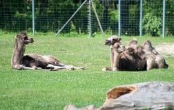Three camels. Stock Photos