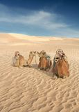 Three Camels in the Sahara. Wonderful light bringing out the texture of the powder soft Sahara sand, this Images has humorous overtones as it looks  as though Stock Image