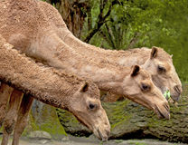 Three Camels. Shot of three camels taken at the Taman Safari Indonesia (TSI) in Cisarua, West Java, Indonesia royalty free stock photography
