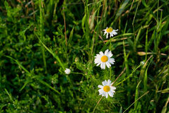 Three camomile. In the weed green grass Royalty Free Stock Images