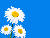 Three camomile on blue background Royalty Free Stock Photo