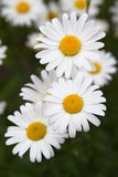 Three Camomile composition, Victoria, BC Stock Image