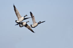 Three Canada Geese Flying in Blue Sky Royalty Free Stock Photo