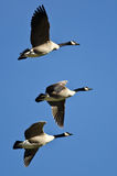 Three Canada Geese Flying in a Blue Sky Royalty Free Stock Images