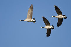 Three Canada Geese Flying in a Blue Sky Royalty Free Stock Image