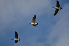 Three Canada Geese Flying in a Blue Sky Stock Photography