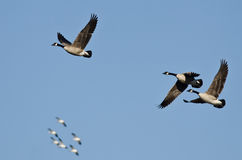 Three Canada Geese Flying with the Snow Geese in a Blue Sky Royalty Free Stock Photos