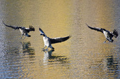 Three Canada Geese Landing on Golden Water Royalty Free Stock Images