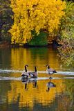 Three Canada geese in shallow river  Royalty Free Stock Images