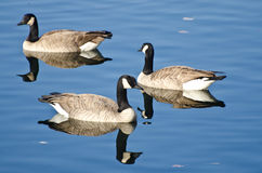 Three Canada Geese Swimming in Autumn Lake Stock Images