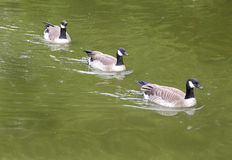 Three Canada geese swimming in formation Royalty Free Stock Images
