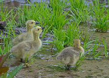 Three Canada Goose babies drinking water. Stock Photo