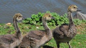 Three Canada Goose Goslings Stock Images