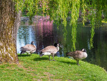 Three Canada goose  near the lake Royalty Free Stock Images