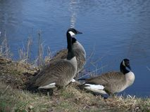 Three Canadian Geese Stock Photos