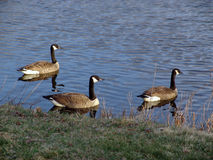 Three Canadian Geese. Three Geese head out towards the center of the Nashawannuck Pond in early spring, Easthampton, Massachusetts Stock Photos