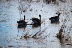 Three Canadian Geese swimming on a frozen pond stock photography