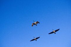 Free Three Canadian Honkers Geese Stock Photography - 40198712