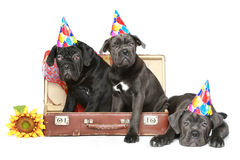 Three Cane corso puppies in party cone Stock Photo